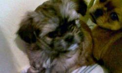 2 ADORABLE SHORKIES FOR SALE   Mom (in picture) is a Shih-tzu Dad is a pure-bred Yorkie 4 Males & 2 Females Available Comes with their first set of shots,  de-worming, and vet check They will be between 5-10 lbs Asking $350.00 Firm   PUPPY 6 IS THE ONLY