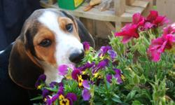 """Our 1 year old Pure Bred Beagle """"Hardy"""" needs a good home and a family who will love him.  He has his shots and is intact.   He loves to play and is an amazingly friendly and cuddly puppy.  He is very fun to have around and loves kids!  He knows a lot of"""