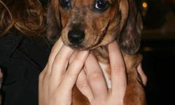 Looking for loving permanent homes for our litter of Dorkies (Yorkshire Terrier x Miniature Daschund). There are 5 boys and 1 girl left. They are used to being handled by children and are good with other animals. This is our third litter and they have