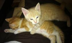 I have two beautiful kittens. Completely house broken. They eat indoor cat food, and drink lots of water. They are perfect in their litter box. Both males, Charlie (beige), Eddie (white and orange). They are brothers from the same litter. They are perfect
