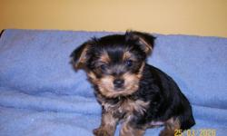 I am offering for sale 2 lovely MALE puppies YORKSHIRE TERRIER, full blood line, unregistered. They are pre-spoiled, raised with granny in my kitchen, super health and lovely disposition. Believe or not I already manage to paper trained this 2 babies.