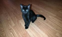 We have 2 black kittens that are in need of homes! There are free. They are litter trained and hard food trained. They don't have any shots, hence why they're free! This ad was posted with the Kijiji Classifieds app.