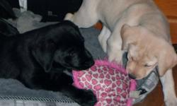Yellow or Black lab puppies for sale. Currently I have 1 yellow female, and 2 black males. These sweet hearts are born and raised in my home. They are great with kids, and love people. They are very well tempered, and are very loving animals. I have the