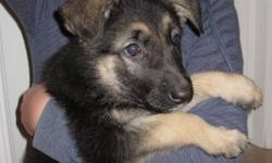 German Shepherd Puppies, traditional black and tan Purebred, CKC Registered Hips and health guaranteed Excellent temperament, raised with young children right in our home. Both parents are from top US and Canadian Champion show lines, OVC hip certified