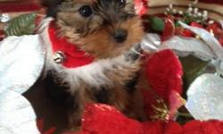 We have 2 beautiful male yorkies available. They are CKC registered. Micro-chipped, vet checked and are 100% healthy , dewormed, and given their first set of shots. They will come with a starter puppy pack and 6 weeks free pet insurance. as well as a 1