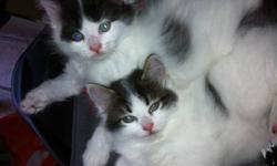 I have 2 kittens in need of homes. They are long haired, lovable, and the sweetest things. JUST in time for Christmas. They were born September 24th, just 8 weeks old. I have one female and one male. The female is while with black spots. Very unique. She
