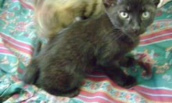 Hello I am offering two free male black kittens. They have white on their chest and greenish yellow eyes. They have been raised around kids, dogs and another cat. They are supper affectionate and playful. If u would like one please contact me at