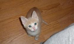 I have 2 beige males. Litter box trained, eating hard food and water. Please call if you are certain on getting a kitten.