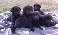 We have 2 beautiful female Chocolate Labrador puppies that are now ready to go! Their sire is a CKC registered Chocolate Labrador Retriever (English) and their dam is an unregistered Chocolate Labrador Retriever (American). Both parents have excellent