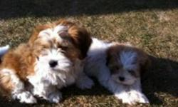 You've got to see to believe....These 2 9wk old male Lhasa puppies are so cuddly and have so much love to give.  Great with all ages. Kennel and pee pad trained. Hypo-allergenic. They have their 1st shots. Ready now to go to their forever homes. Mom is