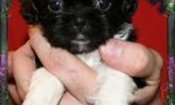 hi i have 2 male shih tzu puppies left ready to go now has been vet checked first needle & dewormed very loveable and affectionate dogs there black n white markings . also i own both parents  need gone asap.