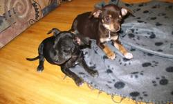 this litter was born on July 8,11 there are 2 females and 3 males The parents are both on site the sire is a long haired Chihuahua and the dam is a black short coated Russian Toy Chihuahua We have 2 black and tan pups (male and female), 2 brown pups (also