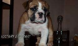 VICTORY BULLDOGS   These Gorgeous Puppies have just been reduced as they are ready now for their new homes!  Serious inquiries, Beautiful Quality English Bulldogs..     One Phenomenal Female sired By Ollie Available! (pictured last along with her sire