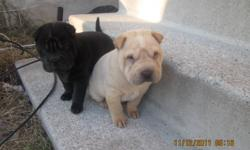 HI THERE AND THANKS FOR CHECKING OUT MY AD I HAVE LEFT 2 FEMALE PUREBRED SHAR PEI PUPPYS OUT OF A LITTER OF 5, THAT WILL BE READY TO GO NOW. WHEN YOU PURCHASE ONE OF THESE YOU WILL RECIEVE A PETS N PAWS PACKAGE OF TOYS, NAIL CLIPPERS BRUSH, BOWLS AND