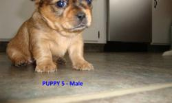 2 ADORABLE SHORKIES FOR SALE   Mom (in picture) is a Shih-tzu Dad is a pure-bred Yorkie 4 Males & 2 Females Available Comes with their first set of shots,  de-worming, and vet check They will be between 5-10 lbs Asking $350.00 Firm   PUPPY 5 & 6 ARE STILL