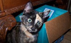 """I have 2 female wonderful kitties in need of permanent, healthy homes.  The 2 females are dark Tortoiseshell, one with an """"undercoat"""" of tabby stripes.  They are both very affectionate, playful kitties and I would love to see them go to homes that can"""