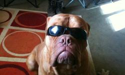 Great with kids and other pets. lovable male French mastiff. he is fixed moving and can't take him. huge loss but have no choice !