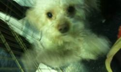 Faraji is a 2 year old, neutered male, miniature poodle cross. He is blonde and weighs about 10lbs. He loves loves loves being pet. He is very affectionate, has a great personality and gets along well with our other dogs. Faraji is from FUPI, an animal