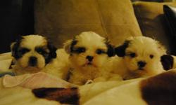 TOY SHIH TZU PUPPIES READY NOW 2 BOYS 2 GIRLS FOR YOU TO CHOOSE 2 BOYS ARE TINY IN SIZE -- MATURE TO 6-9 LBS ($410 EACH) 1 GIRL IS TINY IN SIZE -- MATURE TO 6-9 LBS ($410) 1 GIRL IS TOY SIZE -- MATURE TO 8-11 LBS ($395) HAD 1ST SHOT, DEWORMED, COMES WITH