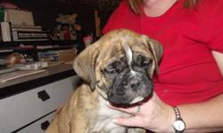 """Out of a litter of 8 pups we have 2 females left to re-home.  Pups are very bully in appearance, will mature around 16"""" tall and weigh approximately 45-50 lbs.  Pups have received their first vet check, first shots, dewormings, tails and dew claws done."""