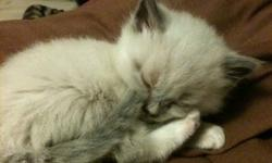 I have two litters that will be ready for xmas. They have their first shots and are dewormed now. They are litter box trained. I can meet in Edmonton on Wed or meet part way the rest of the week.