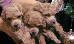 """3 beautiful apricot CKC Registered toy poodles available: 2 males, 1 female.   Mother is a CKC Champion   Both mother and father weigh 4.5 lbs and are 9.5 """" tall.   Pups will have all shots, and vet check, tattooed and de-wormed.  Dewclaws removed and"""