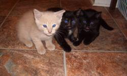 1 white cream colour, 1 all black and 1 mixed mostly black and dark brown with small white patches. All are litter trained and really good with dogs and children, loves to be played with and cuddled.