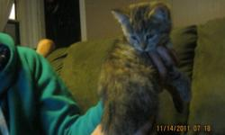 I HAVE 2 KITTENS...... 2 ARE TABBY WITH ORANGE PATCHES....... ALL ARE HEALTHY AND 1 SHOULD HAVE A MEDIUM LENGTH FUR,   THEYRE VERY ENERGETIC    SHORT HAIRED TABBY----IS MALE FLUFFY CALICO TABBY----IS FEMALE, THEY ARE EATING HARD AND SOFT FOOD,