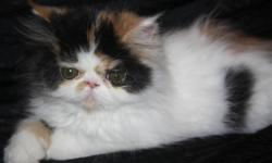Only 3 gorgeous persian kittens left they are ready to leave for there new loving homes right away. All kittens are registered with CFA,Vaccinated X1, Dewormed X3, PKD FeLV FIV negative,vet checked, spay or neuter contract and a health guarantee. So