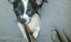 3 pure bread short haired chihuahua puppies, Born September 26, 2011 in need of good homes. Im asking $400 cash / puppy. Price includes all their first shots & checkups. The 2 black ones are males, and the white and black female. All 3 puppies are trained