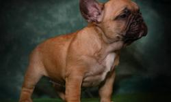 Victory Bulldogs has 3 outstanding Deep Red/Black Mask French Bulldog Puppies Available.  Amazing Champion Bloodlines, Parents are simply Phenomenal.  These Puppies are very hard to find Deep Red with Black Masks Stunning looking Frenchies!  They are very