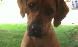 We're looking for a good loving home for our 3 year old neutered pure-bred rhodesian ridgeback dog. He's extremely well trained, excellent temperament, very sweet and cuddly and he's looking for a home with lots of love. He's very calm and laid back. He