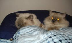3 yr old , Chocolate bicolor brother and sister ragdolls, blue eyes need a new home. Friendly and playful indoor cats, neutered/spayed, had all their shots, suits a quiet, mature environment.