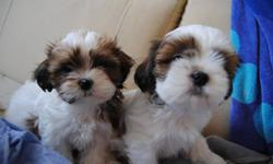 TOY SHIH TZU PUPPIES READY NOW 2 BOYS 2 GIRLS FOR YOU TO CHOOSE HAD 1ST SHOT, DEWORMED, COMES WITH PUPPY FOOD, 1 YEAR HEALTH WARRANTY THEY WILL MATURE TO ABOUT 7-11 LBS 410 EACH FIRM PLEASE CALL FOR VIEWING 416 875 7720