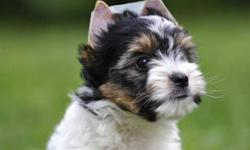 Four Yorkie Puppies for you 2 months old 1 boys & 3 Girls.