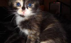Four Kittens ready to go a good home, there is 3 males and 1 female.  The calico kitten is the female, and the rest are males.  I would prefer if the two mostly black with the white spots go together as they are twins and like to be together most of the