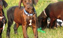 These Puppies were born on July 9th, 2011 There were 2 females and 8 males, Now there are only 4 males left. the sire is a CKC registered choc. Lab (he comes from a choc. on choc. breeding line) the dam is an AKC registered fawn great dane (she comes from