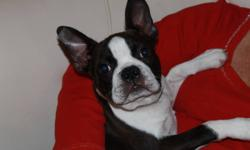 4 month old male Boston Terrier available.  Registered with CKC, has had all of his shot (won't need anymore until he's 1year) is microchipped, and has been vet checked.  Very loving raised with kids, dogs, and cats.