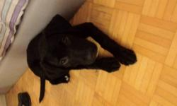 I have a 4 months' black lab puppy in extremely healthy condition. I want to sell it for $200 now because I need to go back to my country and I can't bring it with me. I have everything for him, including toys,bones,treats,shampoo and a big bag quality
