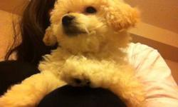 Hi, we have one beautful male Bichon poo puppy for sale. He is a mix of Bichon Frise and Miniature Poodle. They  are very smart, cute and adorable. Importantly, he is non-shedding, non-allergic. He is a 3 months and half old and is looking for a caring