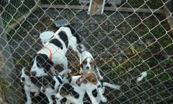 We have 5 puppies available. Puppies were born the 17th of Aug. they are dewormed and ready for their new homes. Dad is beagle, mom is walkerhound. Both parents are great hunters. We have 2 males and 3 females left. Puppies will be great hunters or could