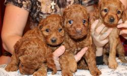 A New Years Gift! Born to beautiful, playful cockapoo mother and poodle father, 4 females and 1 male will be available for viewing starting December and picked up from December 27th.  As adults, puppies will range from light-dark apricot (reddish) in