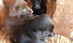 Block-head , dewormed,  All Males   Awesome Temperment / Well natured.   3 black.... $ 400   2 chocolate $ 500   Father 100 lbs chocolate pic posted   Mother 80 lb Black lab pic posted