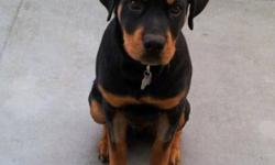 Rosco needs a good Loving home He is a Gorgeous Rotti with Beautiful color and personality. He has grown up so far around kids a pomeranian (small dog) and is so gentle and playful with both. He has All his shots and will come with his health card and a