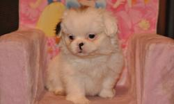 5 Shih Tzu X Pekingese puppies, 4 males in the first 4 pictures and 1 female in the last picture, the white male is $500.00 and the others are $375.00 each, their father is a pure 12lb Shih Tzu and their mother is a pure 14lb Pekingese, hypoallergenic,