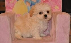 6 Bichon X Shih Tzu puppies, born Nov. 15th, 4 boys in the first 4 pictures and 2 girls in the last 2 pictures, their father is a pure Bichon and their mother is a pure Shih Tzu, they will weigh 10 to 12lbs when full grown, hypoallgenic, non-shedding,