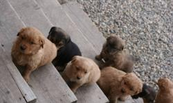 Beautiful,loving Golden Retriever Puppies. 2 black/brown females, and 3 golden females. Only 1 golden colored male. Dogs come with shots included/ dewormed.l Are ready since the 22. of December and waiting for a lovely home.