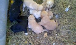 I'm selling 6 female golden retreiever's and 1 male black lab and 1 female black lab.. My mom wants to sell the dogs for another home she already has three dogs. If your intrested please contact this number 3068847473  email