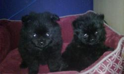 hi i have 2 puppys for sale 1 boy 1 girl the bigger is the boy the small is the teacup girl and its ready to go calll 778-242-7126 or email for more details