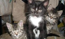We have 1 male kitten ready for his forever home.  He is  black with white socks. The kittens are part Persian bloodlines.  All litter trained and eating solids,  great with children and the dog.  Please call  Heidi at 705-778-2083 to inquire and  to meet